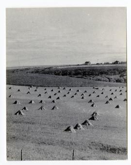A field of stooks in foreground, farm buildings in background