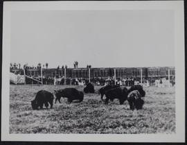 Unloading buffalo at Wainwright, Alberta, cattle cars and crowd in background