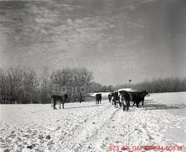 Cows wandering in snow