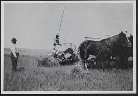 Hersch Leibovitch cutting wheat with a binder