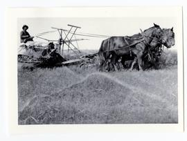 Bill Bailey cutting wheat, using a Massey-Harris cutter drawn by horses